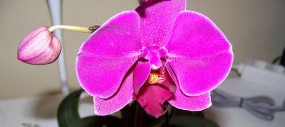 orquidea morada con flor
