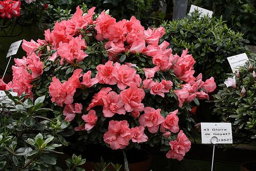 Cuidados de las azaleas plantas y flores for Cactus cuidados exterior