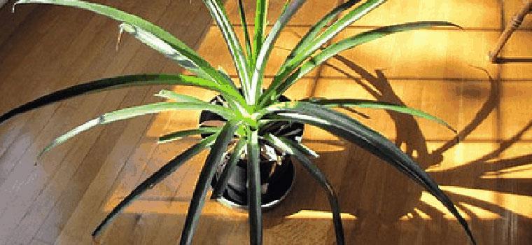 planta-de piña