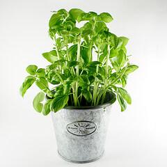 Cuidados de la albahaca plantas y flores for Basilico in casa
