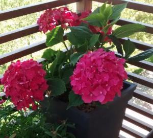 planta de hortensias rosas