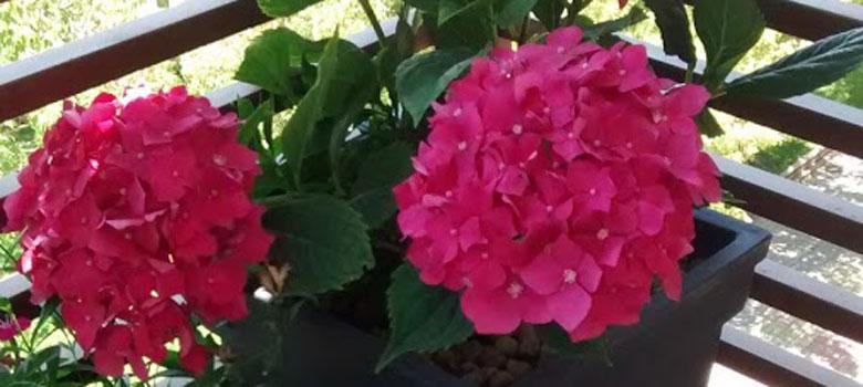 planta de hortensias