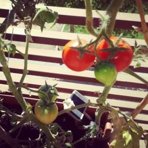 plantar-tomates