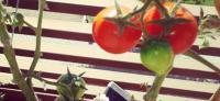 tomates cultivados