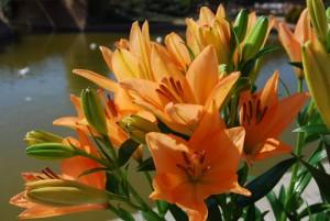 flores-lilium