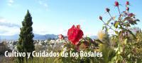 cuidados y plantación de rosales