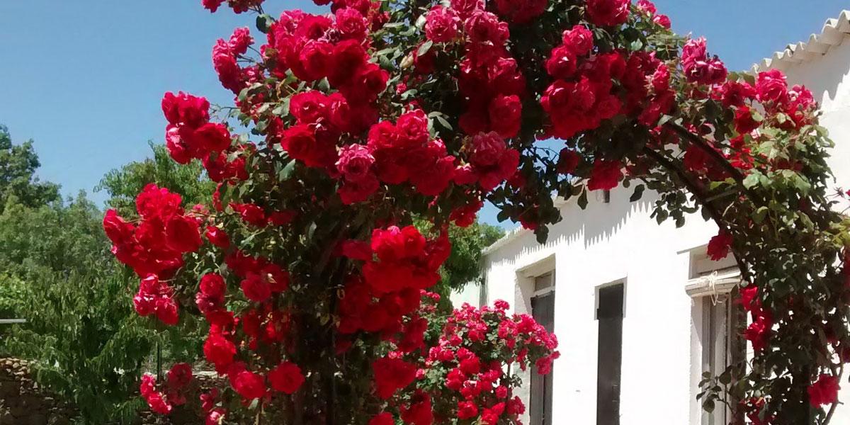 rosales en pérgola
